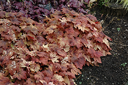 Sweet Tea Foamy Bells (Heucherella 'Sweet Tea') at Meadows Farms Nurseries
