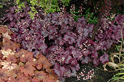 Plum Royale Coral Bells (Heuchera 'Plum Royale') at Meadows Farms Nurseries