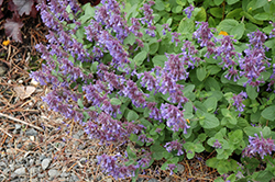Blue Lagoon Catmint (Nepeta 'Blue Lagoon') at Meadows Farms Nurseries