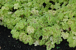 Yellowstone Falls Foamy Bells (Heucherella 'Yellowstone Falls') at Meadows Farms Nurseries