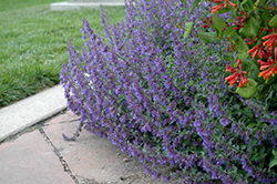 Six Hills Giant Catmint (Nepeta x faassenii 'Six Hills Giant') at Meadows Farms Nurseries