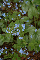 Alexander's Great Bugloss (Brunnera macrophylla 'Alexander's Great') at Meadows Farms Nurseries