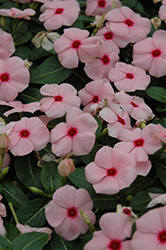 Titan™ Apricot Vinca (Catharanthus roseus 'Titan Apricot') at Meadows Farms Nurseries