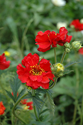Mrs. Bradshaw Avens (Geum 'Mrs. Bradshaw') at Meadows Farms Nurseries
