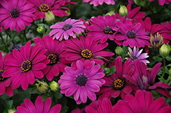 Serenity Dark Purple African Daisy (Osteospermum 'Serenity Dark Purple') at Meadows Farms Nurseries
