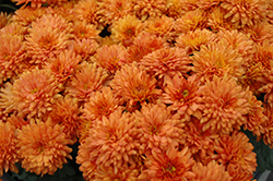 Gigi Orange Chrysanthemum (Chrysanthemum 'Gigi Orange') at Meadows Farms Nurseries