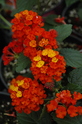 Bandana® Red Lantana (Lantana camara 'Bandana Red') at Meadows Farms Nurseries