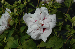 China Chiffon Rose of Sharon (Hibiscus syriacus 'Bricutts') at Meadows Farms Nurseries