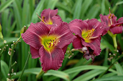 Little Grapette Daylily (Hemerocallis 'Little Grapette') at Meadows Farms Nurseries