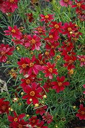 Red Satin Tickseed (Coreopsis 'Red Satin') at Meadows Farms Nurseries