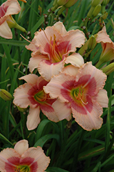 Exotic Candy Daylily (Hemerocallis 'Exotic Candy') at Meadows Farms Nurseries