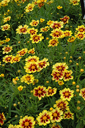 Enchanted Eve Tickseed (Coreopsis 'Enchanted Eve') at Meadows Farms Nurseries
