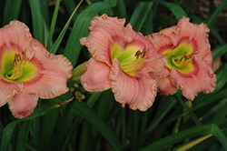 Elegant Candy Daylily (Hemerocallis 'Elegant Candy') at Meadows Farms Nurseries