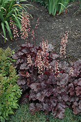 Grape Expectations Coral Bells (Heuchera 'Grape Expectations') at Meadows Farms Nurseries
