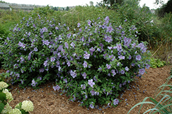 Blue Chiffon® Rose of Sharon (Hibiscus syriacus 'Notwoodthree') at Meadows Farms Nurseries