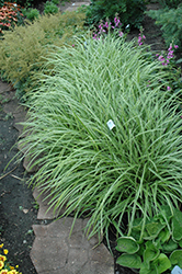Ice Dance Sedge (Carex morrowii 'Ice Dance') at Meadows Farms Nurseries
