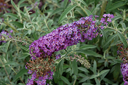 Blue Knight Butterfly Bush (Buddleia 'Blue Knight') at Meadows Farms Nurseries