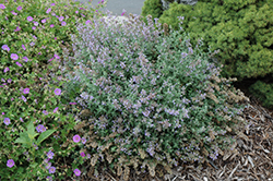 Cat's Meow Catmint (Nepeta x faassenii 'Cat's Meow') at Meadows Farms Nurseries