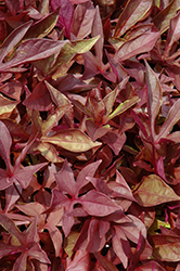 SolarPower Red Sweet Potato Vine (Ipomoea batatas 'SolarPower Red') at Meadows Farms Nurseries