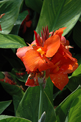 Cannova® Red Canna (Canna 'Cannova Red') at Meadows Farms Nurseries