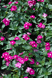 Cora® Purple Eye Vinca (Catharanthus roseus 'Cora Purple Eye') at Meadows Farms Nurseries