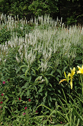 White Culver's Root (Veronicastrum virginicum 'Album') at Meadows Farms Nurseries