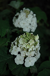 Jetstream™ Hydrangea (Hydrangea quercifolia 'PIIHQ-I') at Meadows Farms Nurseries