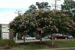 Choctaw Crapemyrtle (Lagerstroemia 'Choctaw') at Meadows Farms Nurseries