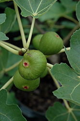 Common Fig (Ficus carica) at Meadows Farms Nurseries
