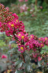 Plum Magic Crapemyrtle (Lagerstroemia 'Plum Magic') at Meadows Farms Nurseries