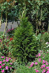 Steeplechase Arborvitae (Thuja 'Steeplechase') at Meadows Farms Nurseries