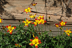 Campfire Fireburst Bidens (Bidens 'Campfire Fireburst') at Meadows Farms Nurseries