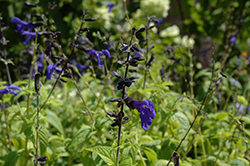 Black And Blue Anise Sage (Salvia guaranitica 'Black And Blue') at Meadows Farms Nurseries