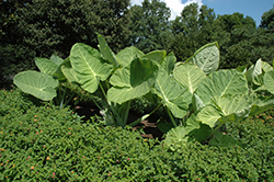 Giant Elephant Ear (Colocasia gigantea) at Meadows Farms Nurseries