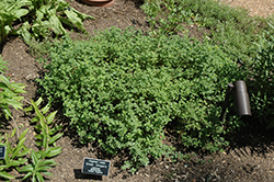 Greek Oregano (Origanum onites) at Meadows Farms Nurseries