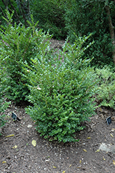 Jim's True Spreader Boxwood (Buxus microphylla 'Jim Stauffer') at Meadows Farms Nurseries