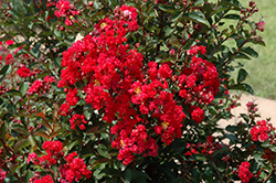 Dynamite Crapemyrtle (Lagerstroemia indica 'Whit II') at Meadows Farms Nurseries