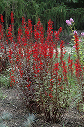 Black Truffle Cardinal Flower (Lobelia cardinalis 'Black Truffle') at Meadows Farms Nurseries