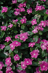 Cora® Deep Lavender Vinca (Catharanthus roseus 'Cora Deep Lavender') at Meadows Farms Nurseries