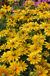Prairie Sun Coneflower (Rudbeckia hirta 'Prairie Sun') at Meadows Farms Nurseries