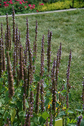 Little Adder Hyssop (Agastache rugosa 'Little Adder') at Meadows Farms Nurseries