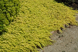 Goldilocks Creeping Jenny (Lysimachia nummularia 'Goldilocks') at Meadows Farms Nurseries