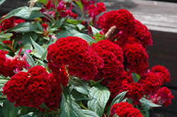 Twisted Celosia (Celosia cristata 'Twisted') at Meadows Farms Nurseries
