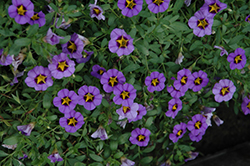 Superbells® Evening Star Calibrachoa (Calibrachoa 'Superbells Evening Star') at Meadows Farms Nurseries
