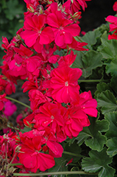 Calliope® Hot Pink Geranium (Pelargonium 'Calliope Hot Pink') at Meadows Farms Nurseries