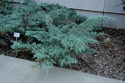 Angelica Blue Juniper (Juniperus x media 'Angelica Blue') at Meadows Farms Nurseries