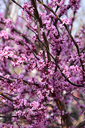 Ace Of Hearts Redbud (Cercis canadensis 'Ace Of Hearts') at Meadows Farms Nurseries