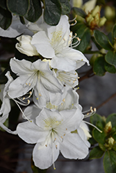 Delaware Valley White Azalea (Rhododendron 'Delaware Valley White') at Meadows Farms Nurseries