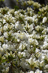 Snow Azalea (Rhododendron 'Snow') at Meadows Farms Nurseries