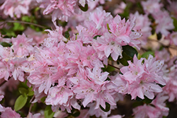Pink Pearl Azalea (Rhododendron 'Pink Pearl') at Meadows Farms Nurseries